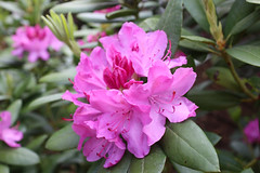 IMG_3013.JPG (robert.messinger) Tags: flowers rhodies