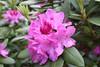 IMG_3013.JPG (robert.messinger) Tags: flowers rhodies