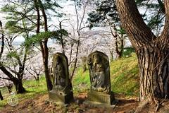 Sakura Mountain 3.  Glenn E Waters. Japan 2016. (Glenn Waters in Japan.) Tags: japan nikon aomori sakura cherryblossoms ishikawa d800 2016 glennwaters