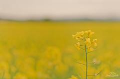 Yellow (Jordi Corbilla Photography) Tags: 35mm spain nikon girona d7000 jordicorbilla jordicorbillaphotography
