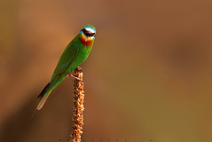 Angry Bee-Eater !! (wajahat malik) Tags: travel light detail forest photography photoshoot bokeh outdoor naturallight wilderness selectivefocus beeeater 400mm colourfull migrate canonguy talagang coloursofnature nationgeographic birdsofpakistan wwfpakistan fornaturelovers beautyofpakistan wajahatmalik