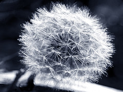 Chromatic Dandelion Chronatic (Alan FEO2) Tags: blackandwhite plants flower clock monochrome outdoors weeds head dandelion seeds 36 pods chromatic intricate lionstooth 2oef 116picturesin2016