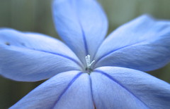 Can I get a high-five! Don't leave me hangin..) (Kaos2) Tags: blue flower macro hand stamen highfive plumbago fridaysflowers