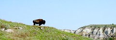 TeddyRooseveltNatPark 2016 (prairiegirrl) Tags: buffalo northdakota bison greatplains trnp