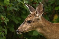 Visitor (Dex Horton Photography) Tags: portrait urban yard wildlife neighborhood deer bellingham wa