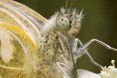 Butterfly Pieris Napi (arturry) Tags: green eye nature butterfly insect head ngc greenveinedwhite motyl pieridae pierisnapi bielinekbytomkowiec