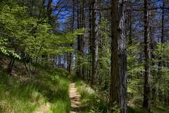 Il bosco dei pini neri (bormanus_sv) Tags: wood italy green forest path liguria sentiero bosco purin pora cdelmago bricporrina