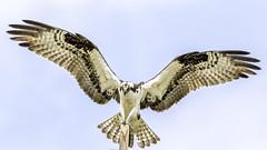 Osprey (Glenn R Parker) Tags: osprey 1birds