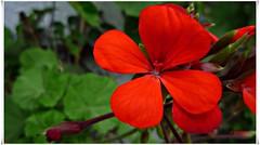 Geranio rojo....P1120963P (gtercero) Tags: rojo geranio gtercero 20150715