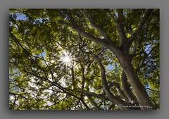 SOL  E  SOMBRA. (manxelalvarez) Tags: naturaleza sol sombra ramas arbores solesombra