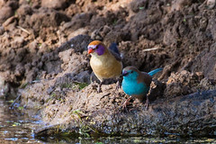 Violet-eared and Blue Waxbill, Kameel, Limpopo, May 2016 (roelofvdb) Tags: place year january date 2016 845 844 kameel waxbill bluewaxbill violetearedwaxbill southernafricanbirds waxbillblue waxbillvioleteared