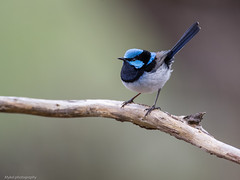 A little Superb Fairy... (Mykel46) Tags: blue male nature colors canon superb wildlife au australia fairy wren southaustralia kangarilla 500mmf4 14xtele 1dxmk2