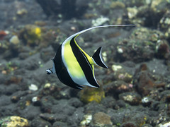 Moorish Idol (RobertLyndonDavis) Tags: travel bali holiday fish indonesia marine underwater sony scuba diving reef mikeo tulamben archon a7s meikon