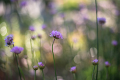 Enjoying The Golden Light (samuel.rolo) Tags: light flower field 50mm golden nikon purple bokeh hour 18 depth armeria maritima d610