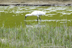 _TKF6696 (Tjeerdknierfotografie) Tags: vogels texel lepelaar eendagtexel