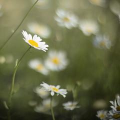 Daisies (mckenziemedia) Tags: canon eos 5d mark iii helios 40 85mm f12 12 blur bokeh flower flowers daisies daisy green yellow white square