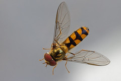 IMG_3064-02n (wim_z) Tags: closeup canonef100mmf28lisusm insect 70d hoverfly macro nature animals zweefvlieg