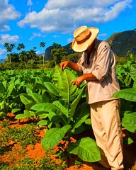 We are the most famous #Tabacco cultivation in the #world #Cohiba We are working hard so that you are satisfied and can enjoy it. Muchos Saludos #viales #Cuba  #Vinales (Casa Particular Vinales) Tags: world cuba vinales tabacco cohiba viales