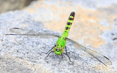 common pondhawk female near Harper's Ferry IA 854A0518 (lreis_naturalist) Tags: county harpers ferry female dragonfly reis iowa larry common pondhawk allamakee