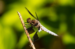 7K8A5072 (rpealit) Tags: male nature forest scenery state dragonfly wildlife stokes common whitetail
