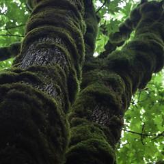 _MG_0571 / Moss i (doug_r) Tags: washington moss enumclaw temperaterainforest flaminggeyserstatepark bigleafmaple lightroomprocessing canon5dmkii 2016dtrosenoffallrightsreserved 20160629 canon1635f27ii