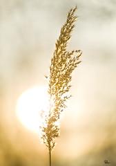 17h10 (Mathieu Muller) Tags: sunset sun sunlight backlight rural soleil champs coucher herb contrejour herbe champtre mathieumuller