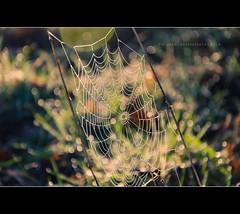 Spiderman was here (w.mekwi photography [here & there]) Tags: grass closeup dof bokeh web spiderweb dew hbw bokehwednesday nikkor18105mm nikond7000 wmekwiphotography mekwicom spiderwebonsticks