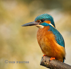 Kingfisher (Novisteel) Tags: winter birds spring flickr wildlife kingfisher ngdphotos