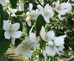 Witte bloemen (Oost-Turkije2011) (megegj)) Tags: flowers fleurs turkey blumen fiori turkije bloemen gert wonderfulworldofflowers