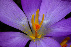 Attention To Detail (Jonny Hirons) Tags: flower detail spring purple crocus stamen