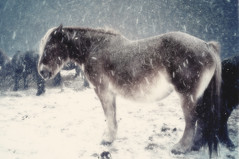 Blizzard Horse (moaan) Tags: horse snow digital frozen frost snowstorm freeze utata aomori whiteout 2012  standingstill endure ataka drivingsnow superangulon21mmf34 kandachime severecold thelittledoglaughed leicasuperangulon21mmf34   ricohgxr capeshiriya higashidorimura  gxrmounta12