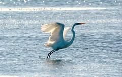 Great Egret (Cathy Hennessy) Tags: birds florida redbelliedwoodpecker greatblueheron ospreys greategrets biglagoonstatepark bayoumarcus cathyhennessy swallowtailsbutterflies