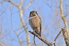 northern hawk owl, chippewa county, michigan (twurdemann) Tags: winter tree bird fauna michigan raptor owl upperpeninsula birdofprey rudyard northernhawkowl surniaulula northernmichigan chippewacounty m48 mccaberoad