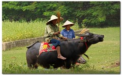 Buffalo power (jebob) Tags: animal rural mammal buffalo asia farmers culture vietnam tradition