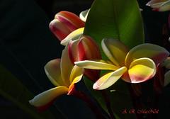 Colorful Plumeria - Ka'anapali, Maui (Barra1man (Catching Up!)) Tags: flowers macro nature hawaii plumeria maui tropical kaanapali tropicalflowers mygearandme mygearandmepremium