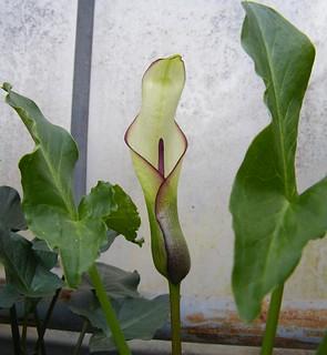 Arum hygrophilum