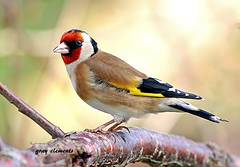 goldfinch   (carduelis carduelis) (gray clements) Tags: birds canon goldfinch ngc devon npc exeter 7d alphington passeriformes cardueliscarduelis britishbirds ef300mmf4lisusm birdperfect mygearandme