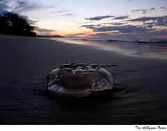 jelly on the beach (GoodChilla) Tags: beach jellyfish australia australien tino tinowolfgramm tinowolfgrammphotos goodchilla