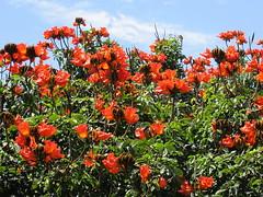 Tulipan africano ( Spathodea campanulata) (jjrestrepoa (busy)) Tags: flower tree arbol colombia flor medellin antioquia spathodeacampanulata miona bignonaceae