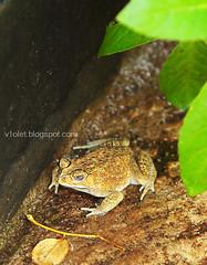 IMG_9000 Kodok di daun3cw (Luciana Adriyanto) Tags: fauna toad kodok v1olet lucianaadriyanto