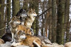 Wölfe (Cloudtail the Snow Leopard) Tags: badmergentheim wildpark tierpark wildtierpark wolf timberwolf sunrays5 cloudtailthesnowleopard