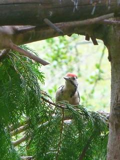 Woodpecker -- Photo 2