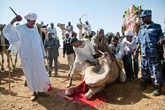 Arab Nomadic community (Albert Gonzalez Farran) Tags: africa horses sudan un arab return unitednations nomad camels onu nomadic cascosazules idp nacionesunidas returnees northdarfur elfasher headofoffice nacionsunides albertgonzalezfarran unamid albertgonzaleznet cascosblaus hassangibril