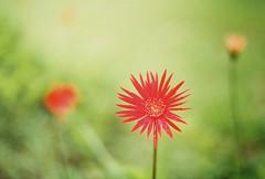 (yttria.ariwahjoedi) Tags: hello red plant flower green film rain analog canon garden botanical flora dof ae1 petal raya greeting bogor kebun