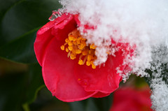 Is it Spring?  Oh no it is winter (grannie annie taggs) Tags: winter red snow flower macro camellia supershot 100commentgroup coth5 mygearandme mygearandmepremium sunrays5