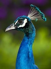 Peacock (Pragmatic1111) Tags: blue portrait green bird eye animal hawaii nikon day purple bokeh wildlife flash sb600 beak feather peacock kauai iridescent fowl d700 highqualityanimals
