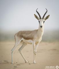 Gazelle   ((11-Photos)) (RASHID ALKUBAISI) Tags: nikon d3 2012 doha qatar rashid    d3x alkubaisi d3s  ralkubaisi mygearandme wwwrashidalkubaisicom