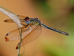 Pied-spot dragonfly (anacm.silva) Tags: africa wild nature bug insect nikon dragonfly wildlife natureza ngc bugs libélula thegambia insecto áfrica vidaselvagem abukonaturereserve abuko anasilva gâmbia nikond40x piedspot hemistigmaalbipunctum piedspotdragonfly
