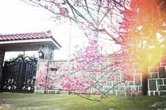 Mansion & Cherry () Tags: pink red flower cherry blossom sakura