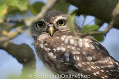 Steinkauz_Athene noctua-58 (fotolulu2012) Tags: nature birds animals photography tiere photo photos natur birding aves pajaros fotos vgel athene bilder vogel birdwatcher birdwatch naturfotos naturbilder tierbilder tierfoto tierfotos animalphotography littleowl geflgel athenenoctua animalpictures tierfotografie federn naturfotografie ornithologie fotografen wildlifephotography vogelflug wildtiere vogelzug bildarchiv wildlifephotos tierwelt animalphotos gruppen steinkauz ornithologe vogelfotografie wildlifepictures avesexoticas bestofanimals tierfotograf mochueloeuropeo fotosdeanimales birdphotogallery ceurope bilddatenbank avibase vogelfotos birswatching fotolulu fotoluluagentur tierfotoagentur tierfotosweltweit avesvgel vogelphotographie tierfotodeluxefotosdeaves strigidaeeigentlicheeulen strigiformeseulen